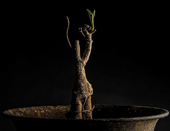 バオバブ苗木画像