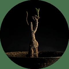 バオバブ苗木