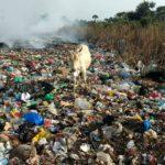 ゴミを食べる牛 セネガル