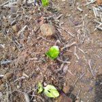 バオバブの種、バオバブの芽