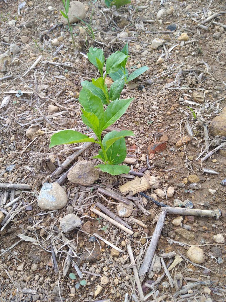 バオバブ栽培